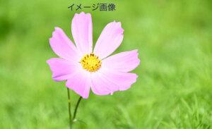 秋桜 イメージ画像
