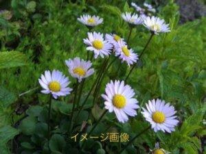 姫菊 イメージ画像